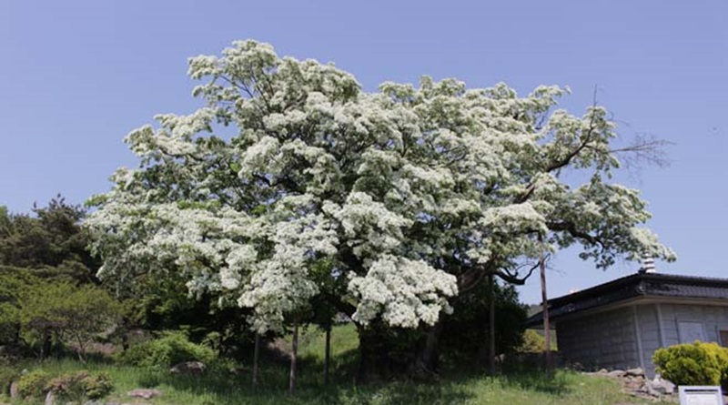 가회면 오도리 이팝나무 꽃 만개, 대풍(大豊) 기대