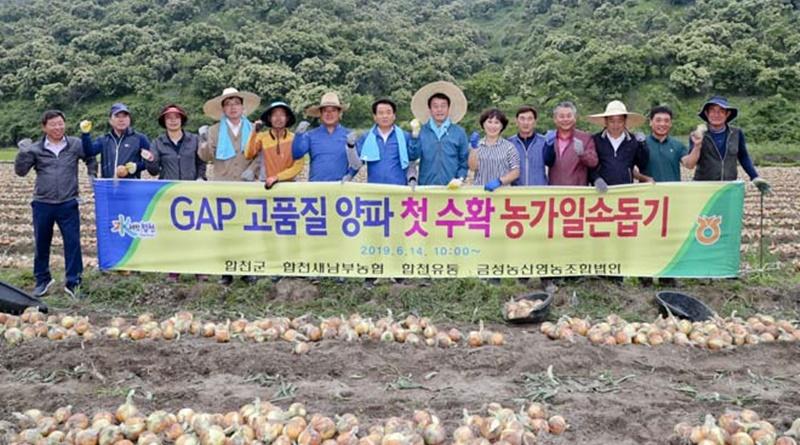 가회면 GAP 인증 양파 첫 수확 일손돕기