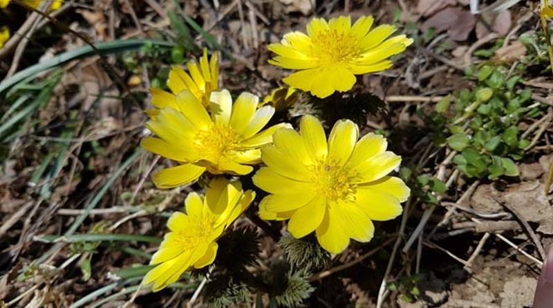 가야산국립공원, 봄의 전령사, 복수초 활짝