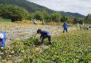 합천읍 주민자치위원회 고구마 수확